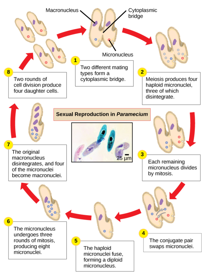 Images of asexual reproduction in paramecium